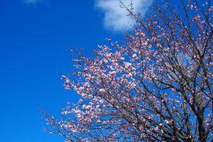 飯舘村の春(一昨年、4月15日)