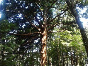 樹齢800年の木(福島白河の関 従二位の杉)