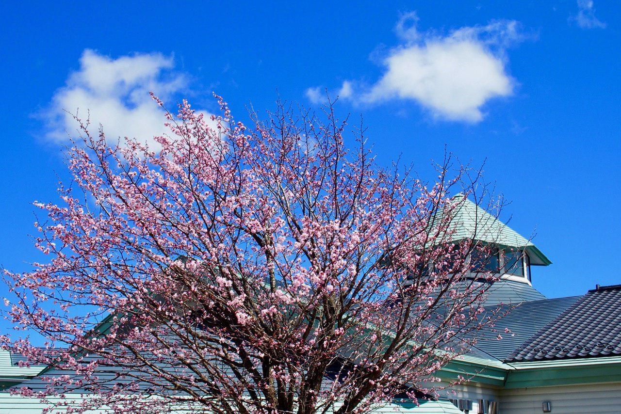 飯舘村の春。建物は、なんと村営の本屋さん。立ち読み、座り読み大歓迎で、いたんだ本は、学校や公民館に寄付されます。飯舘村は「日本一美しい村」として認定されています。 原発さえなければ…