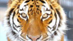 旭山動物園のアムール虎。「苛政は虎よりも猛也」-『礼記』 著者撮影。