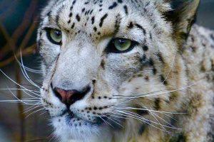 旭山動物園の雪豹。豹のようにしなやかに美しく、強くありたいです。著者撮影。