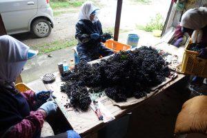 岩手県野田村の山ぶどう農家さんのところで、お手伝いをしてたときに撮ったもの