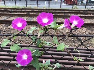 近所なんです。夏に咲くべき朝顔が、夏のあまりの暑さと雨の少なさで一度、完全に枯れてしまい。なんと、今咲きだしました。