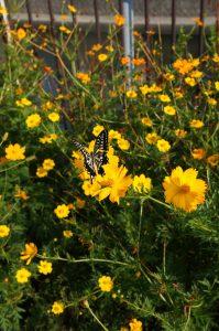 さて、この蝶々やお花の名前はご存知でしょうか? 香川県多度津町で撮影。