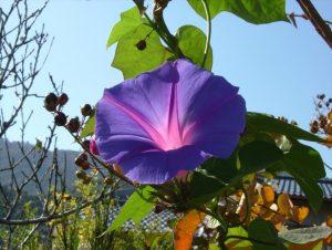 朝顔といえば、夏に咲く花の代表です。小学生のとき、夏休みの宿題や自由研究でこの植物を育てた方も多いのではないでしょうか。この写真の朝顔は、ウジケさんが1月に撮影したものです(香川県善通寺市)。冬に朝顔って意外ですよね。しかし、咲いていました。実は、これは西洋朝顔という朝顔です。開花時期は一般的な日本朝顔とは異なり9月以降で、11月を超えても開花するものもあるそうです。